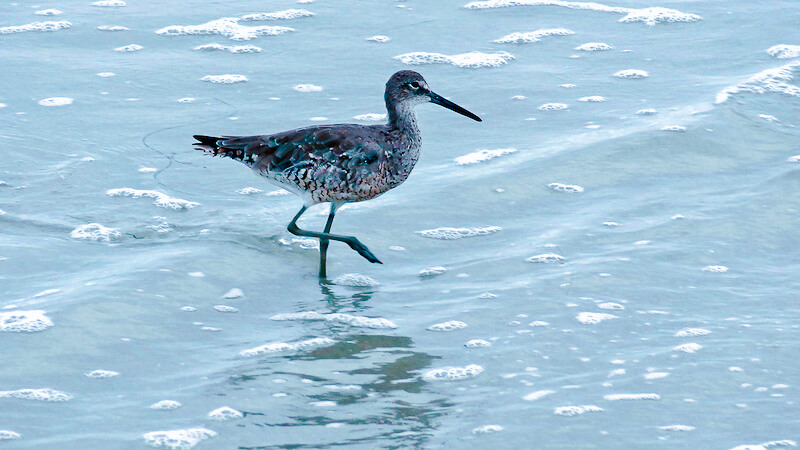 willet at waters edge